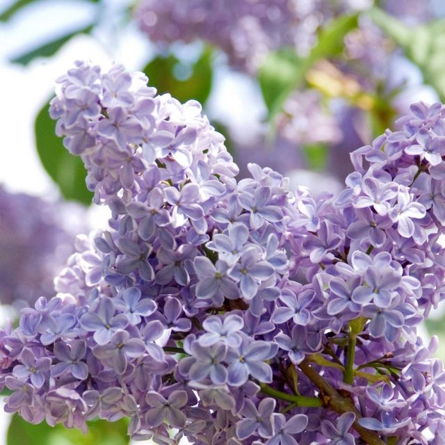 Multi-Varieties Lilac Seeds, 100pcs/pack