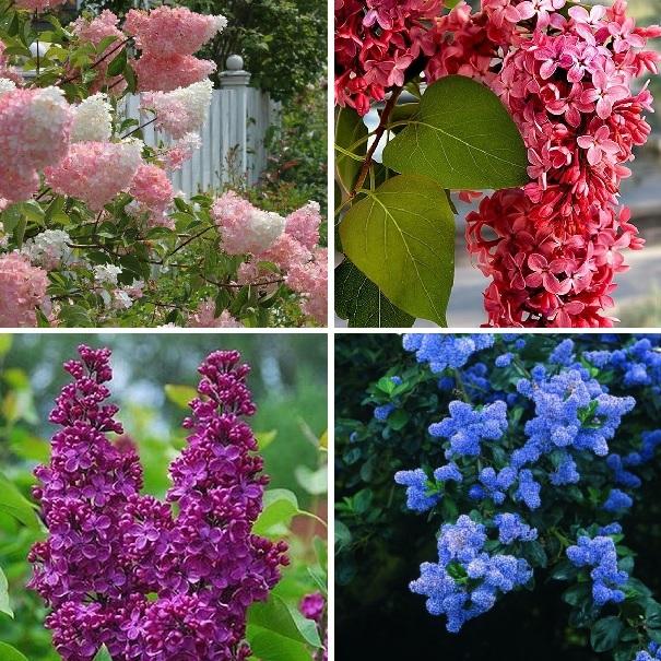 Multi-Varieties Lilac Seeds, 100pcs/pack