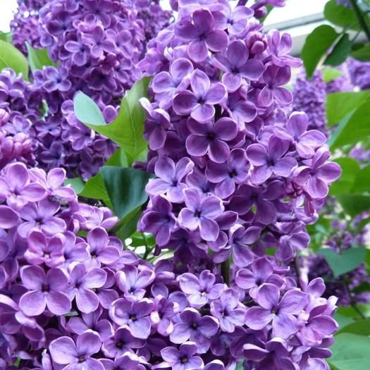 Multi-Color Lilac Seeds, 100pcs/pack
