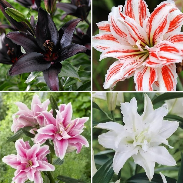 Double Petals Lily Flower Seeds, 100pcs/pack