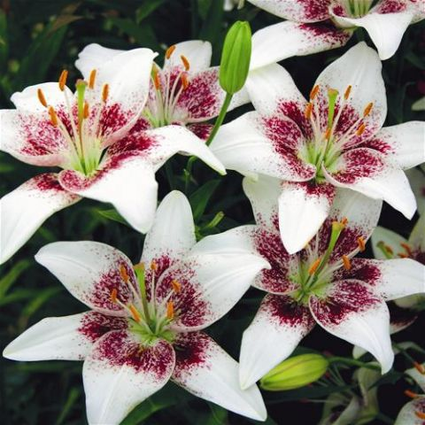 Lily Seeds, Double Petals Lily Flower Seeds, 100pcs/pack