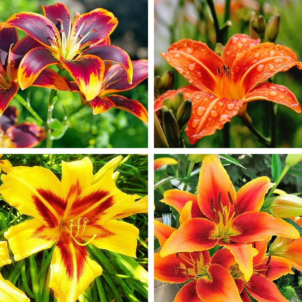 Double Lily Bulbs,  Perfume Lily, 1 Bulb/pack