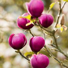 Yellow Magnolia Seeds, 10pcs/pack