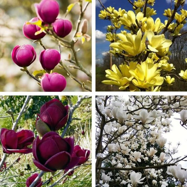 Multi-Color Magnolia Seed, 10pcs/pack