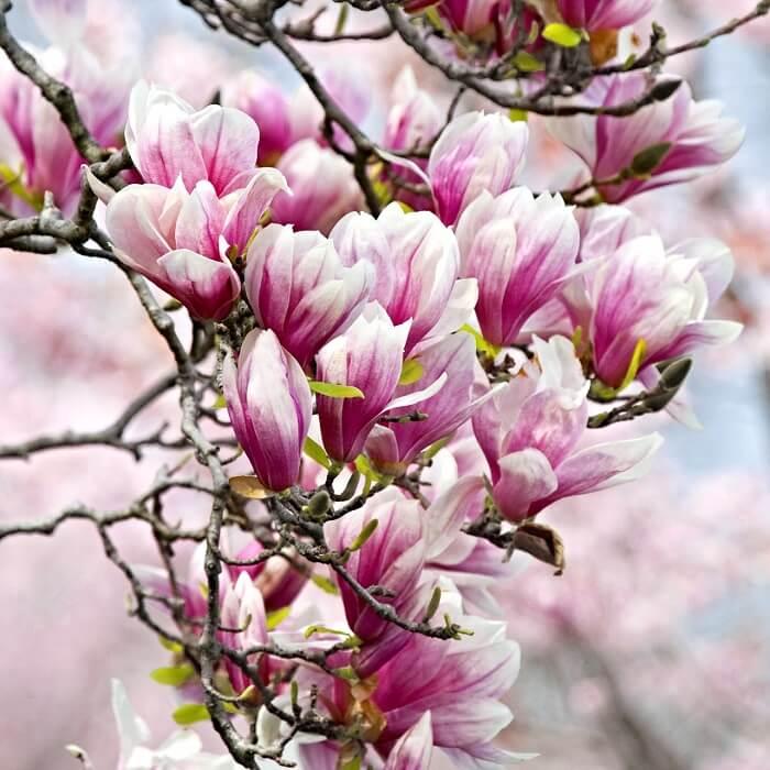 Pink Magnolia Seed Magnolia Tree 10pcspack