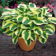100pcs/bag beautiful  Hosta Plants Perennials Lily Flower Shade Hosta Flower Grass Seeds Ornamental Plants Home Garden