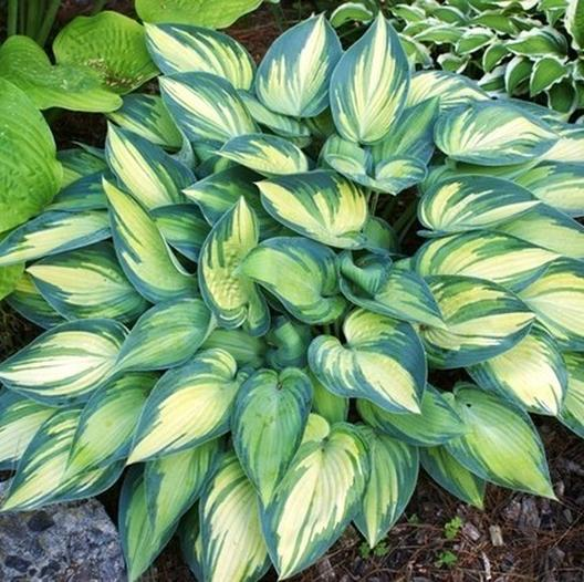 Multi-Varieties Hosta Seeds, Perennials Plant Seeds, 100pcs/pack