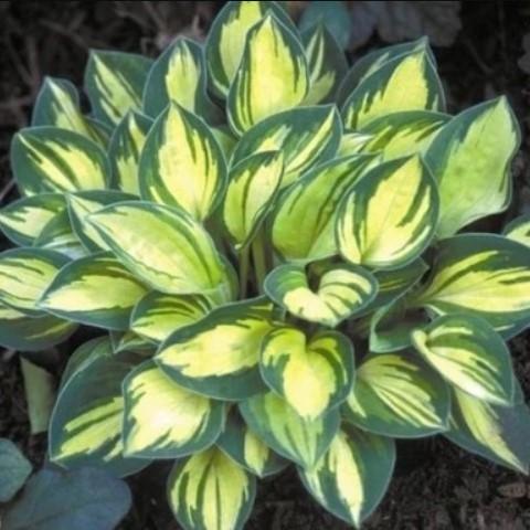 Multi-Varieties Hosta Plants Seeds, Hosta Seeds, 100pcs/pack