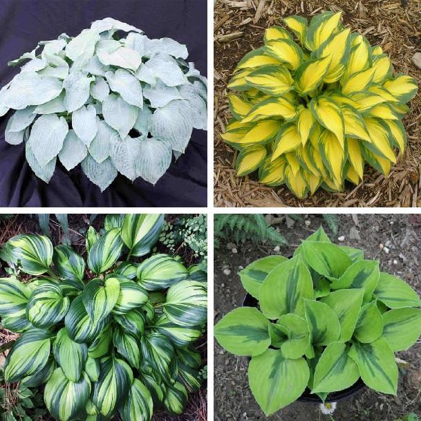 Multi Varieties Hosta Plants Seeds Hosta Seeds 100pcspack