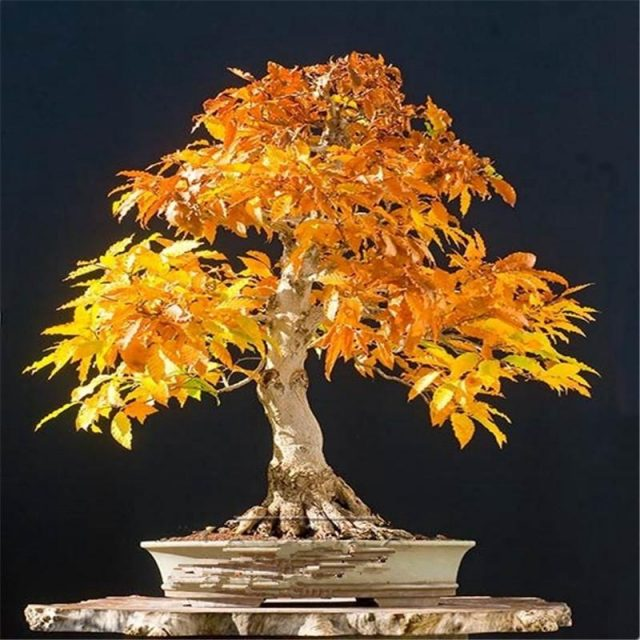 10pcs/bag maple seeds fire maple bonsai flower seeds tree seeds potted plant 98%germination 9 colors for home garden