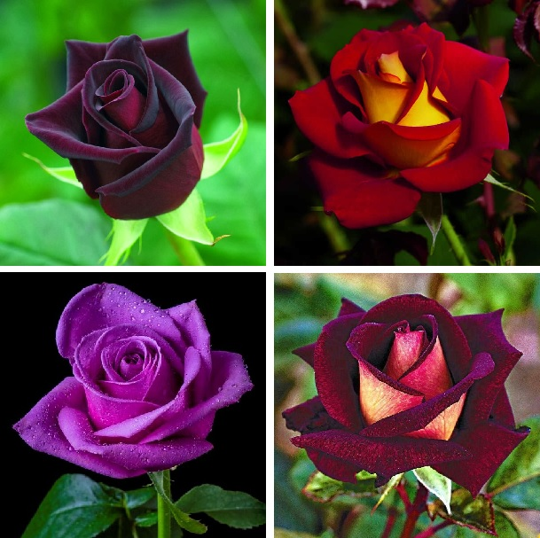 Rare Rose Seeds, Black Rose Flower Seeds, 100pcs/pack