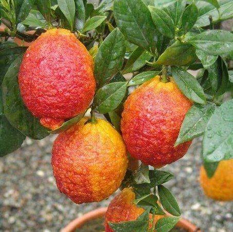 Red Lemon Tree Seeds, 20pcs/pack