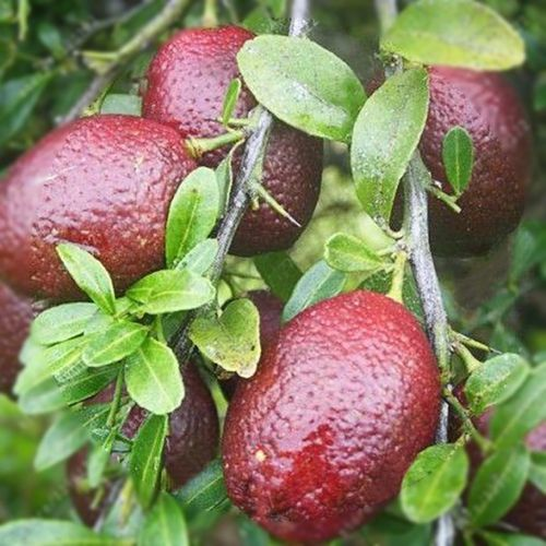 Red Lemon Tree Seeds, 20pcs/pack