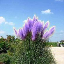 Multi-Color Pampas Garss,Pampas Seed,Pampas Grass Plant, 200pcs/pack