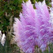 Pampas Grass Seeds Colorfull Home Garden Plants Are Very Beautiful flowers seeds Decorative 200pcs/pack