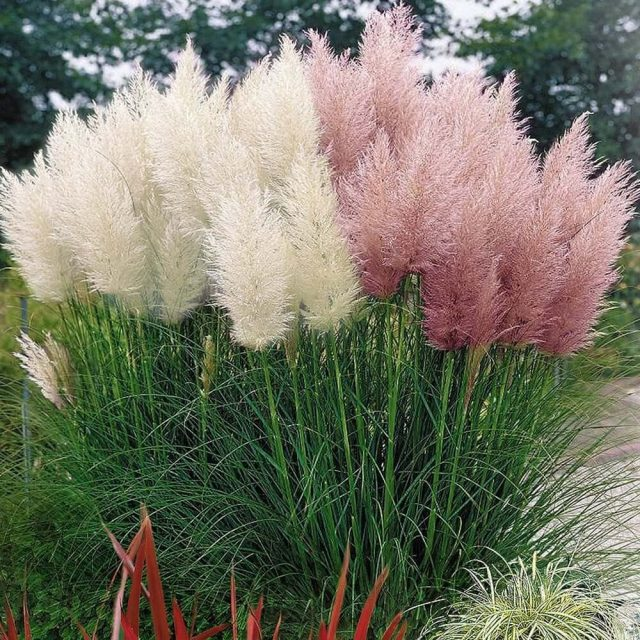 Pampas Grass Seed Patio and Garden Potted Ornamental Plants New Flowers (Pink Yellow White Purple) Cortaderia Grass Seed 200Pcs