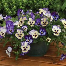 Pansy Seeds, 200pcs/pack