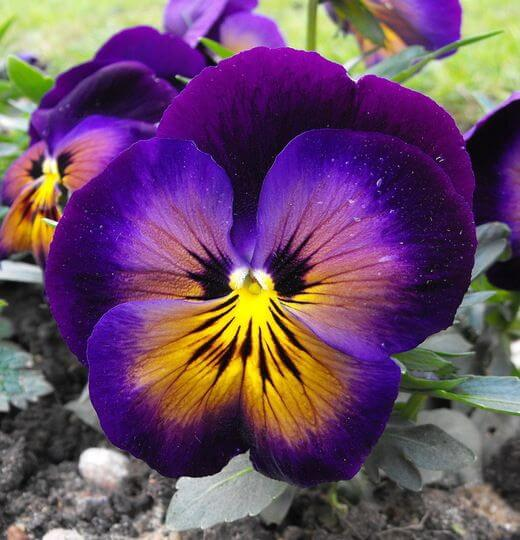 Beautiful Pansy Seeds, 200pcs/pack