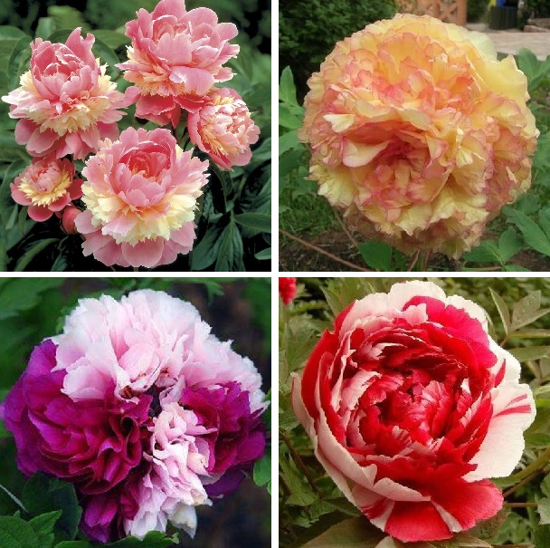 10pcs/pack  Rare perennial Peony Flower Tree seeds,multiple color bonsai plant for home&garden free shipping