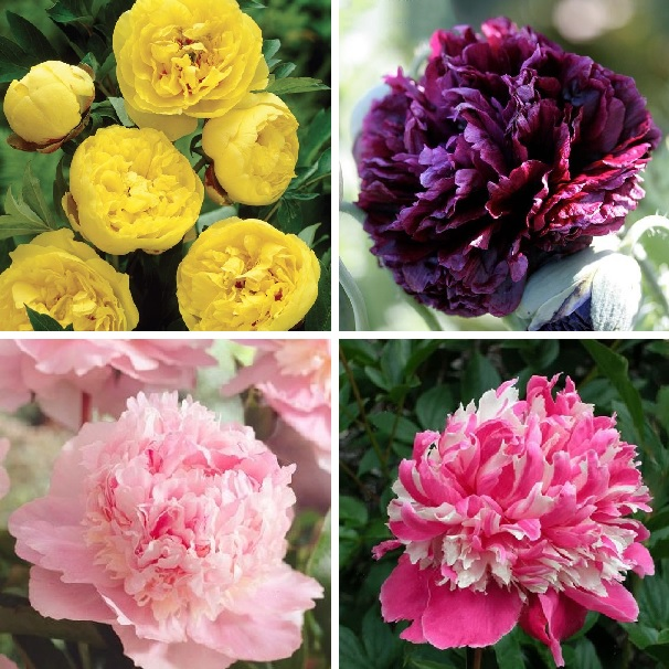 Mixed Color Peony Seeds, 10pcs/pack
