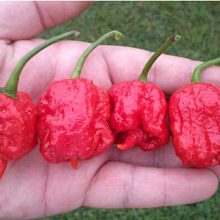 Ghost Pepper Seeds, Carolina Reaper Seeds, 100pcs/pack