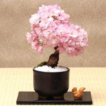Bonsai Tree Sakura Seeds, Rare Cherry Blossoms Flowers Seeds, 10pcs/pack