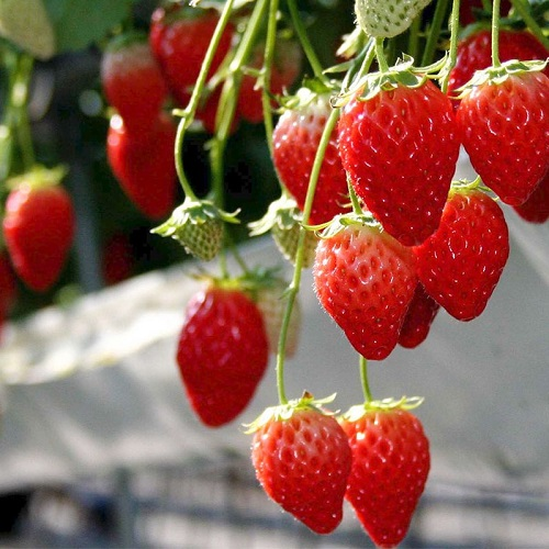 Strawberry Seeds, Rare, 300pcs/pack