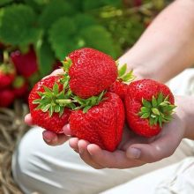 Rare Big Strawberry Seed, 300pcs/pack