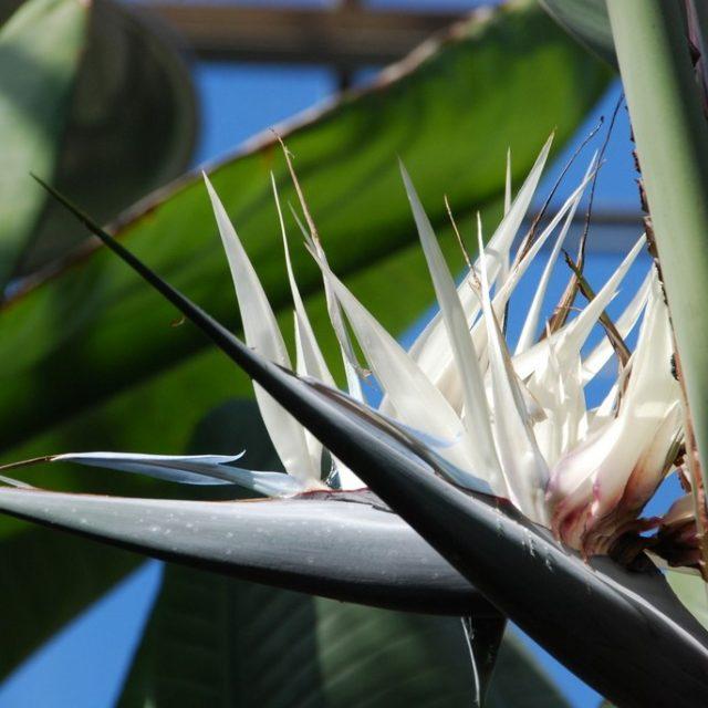 Multi-Color Strelitzia Reginae Seeds, 100pcs/pack