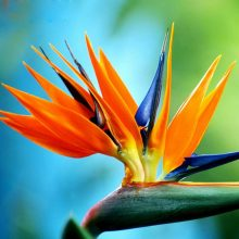 Multi-Color Strelitzia Reginae Seeds, 100pcs/pack