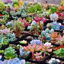 200 seeds/pack Mix Succulent seeds lotus Lithops Pseudotruncatella Bonsai plants Seeds for home & garden Flower pots planters