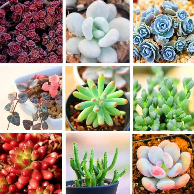 100pcs/pack Rare Mixed 9 Varieties Succulent Seeds