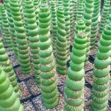 100pcs rare cactus seeds real succulent seeds Green spiral funny bonsai flower plant for DIY Home Garden supplies easy to grow