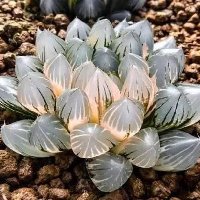 Rare Crystal Clear Succulents Seeds, 200pcs/pack