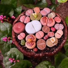 200seds/bag stone flower foliage seed, Lithops Seeds, potted flowers , For DIY Home & Garden