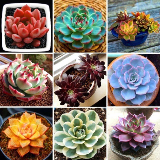 Mix Lithops Seeds, Succulent Flower Pot Seeds,Pseudotruncatella Living Stone Seeds, 200pcs/bag
