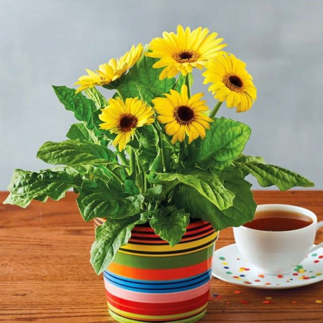 Sunflower Seeds, Teddy Bear Sunflower Seed, 50pcs/pack