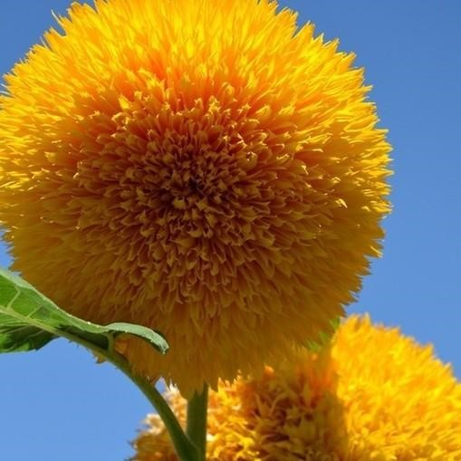 Teddy Bear Sunflower Seed, 50pcs/pack