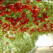 Huge Tree Sweet Tomatoes Seeds, 200pcs/pack