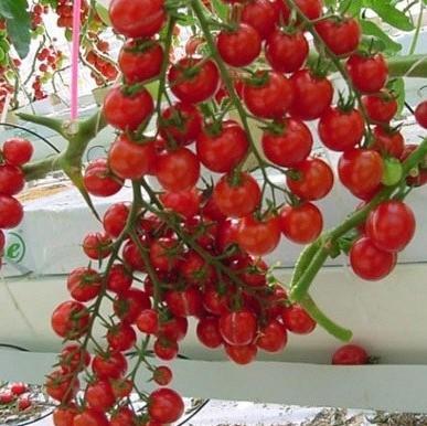 Multi-Varieties Tomato Seeds, Purple Tomato Seeds, 200pcs/pack