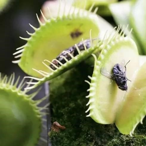 Venus Flytrap Seeds, 100pcs/pack