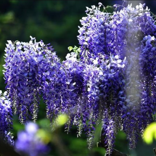 Rare Blue Wisteria Tree Seeds, 10pcs/pack