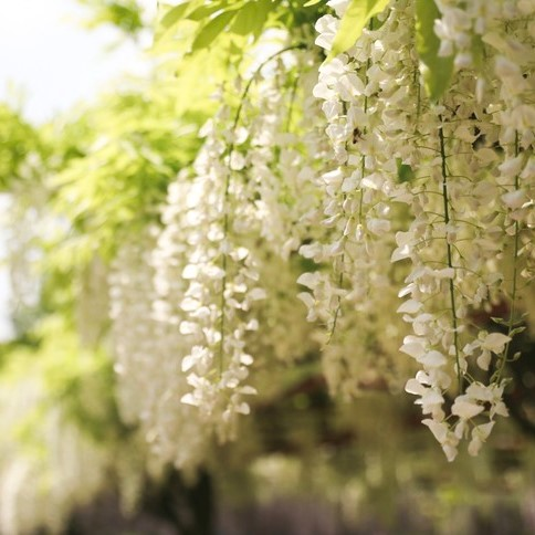 5 Color of Wisteria Flower Seeds,Purple Yellow White Pink Blue Wisteria Seeds, 10pcs/pack