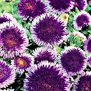 Multi-Color Aster Flower Seeds, 100pcs/pack