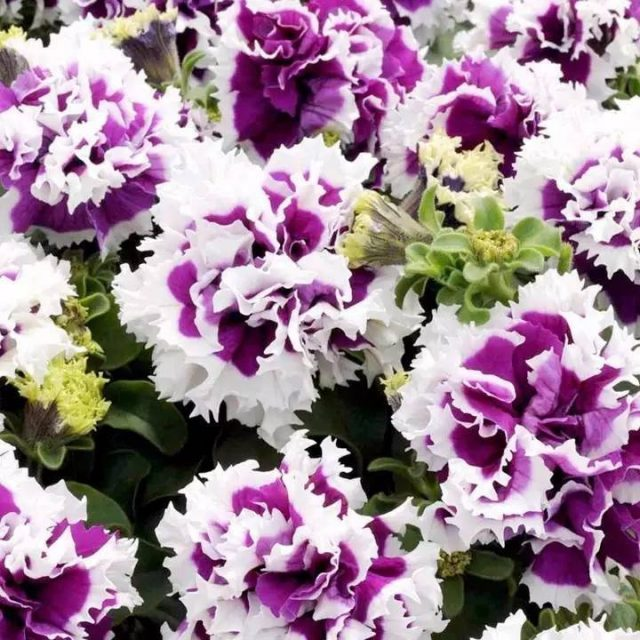 Double Petals Petunia Seeds, Petunia Flower Seeds, 100pcs/pack