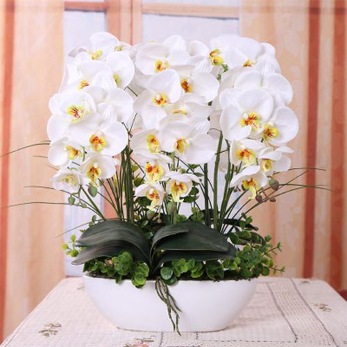 Blue Phalaenopsis Seeds, 100pcs/pack