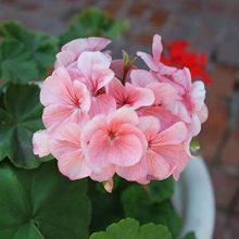 Multi-Color Geranium Seeds, Pelargonium Peltatum Flowers Seeds, 20pcs/pack