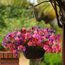Beautiful Petunia Seeds, Double Petals Petunia Seeds, 100pca/pcak