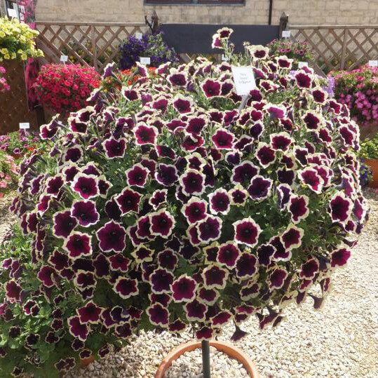 Beautiful Petunia Seeds, Double Petals Petunia Seeds, 100pcs/pcak