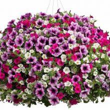 100pcs/pack Petunia Seeds –Black Velvet Petunia ,rare variety, hardy ,lasting balcony, yard flower